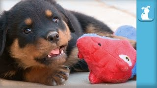 Baby Rottweiler Puppies Fight A Dragon! - Puppy Love