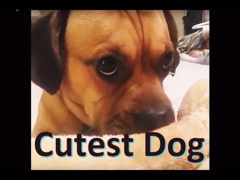 Cutest dog Dachshund Pug mix