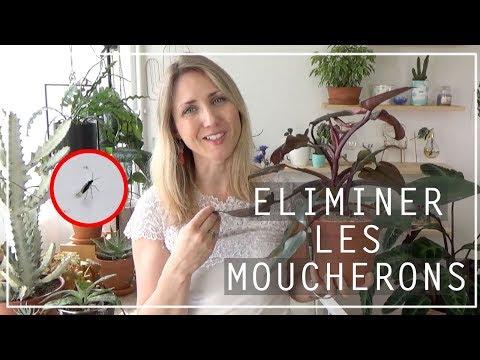 🌿 Astuce Anti Moucherons Sur Les Plantes D'intérieur | Solution Naturelle
