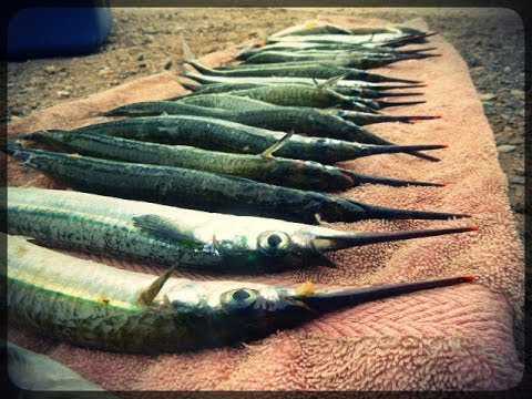 Garfish Madness | Outer Harbour