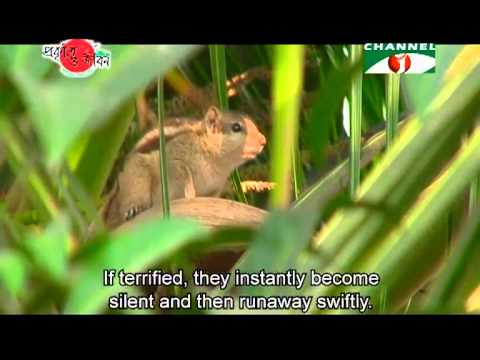 Nature and Life   Episode 147 (Squirrels of Bangladesh)