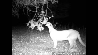 Mountain Lion On Trail Cam  in Tennessee!!