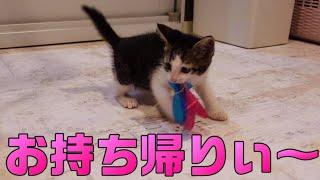 獲物を何度もお持ち帰りしちゃう子猫のスーコがかわいい