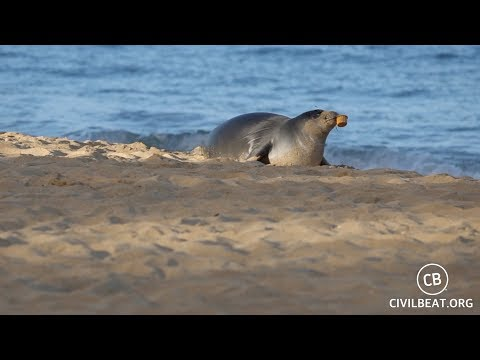 Hawaiian Monk Seal Pup Kaimana