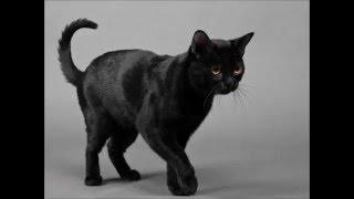 Бомбейская кошка - черная пантера в миниатюре