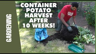 Container Potatoes Harvest After 10 Weeks