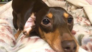 犬の行動、しぐさ ヒート中のマウンティング Dog behavior, mounting in...