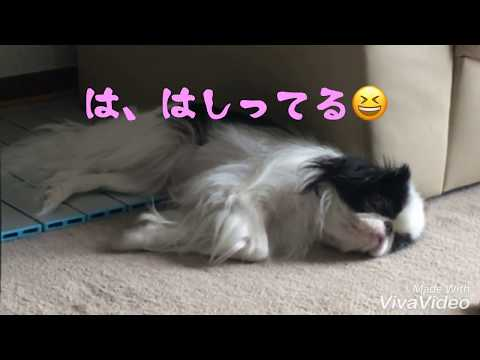夢のなかのそらこ 狆Japanese Chin