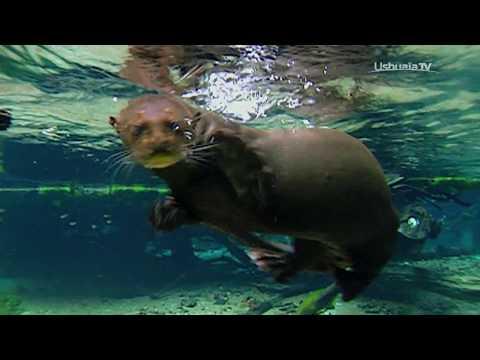 Jouer avec une LOUTRE SAUVAGE au Brésil  Bestof Ushuaïa Extrême Nature