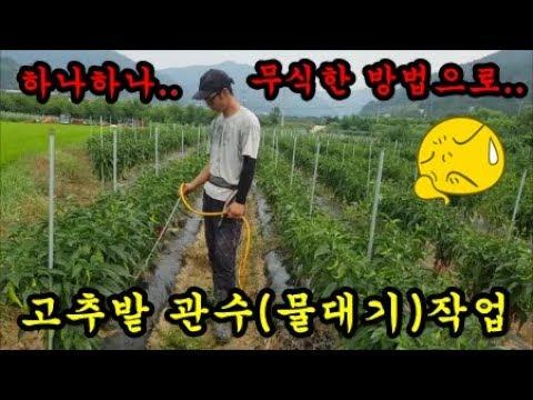 고추농사 고추관수하기 고추밭에물대기 가뭄