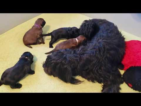 Briard mom Gigi and her pups video 8