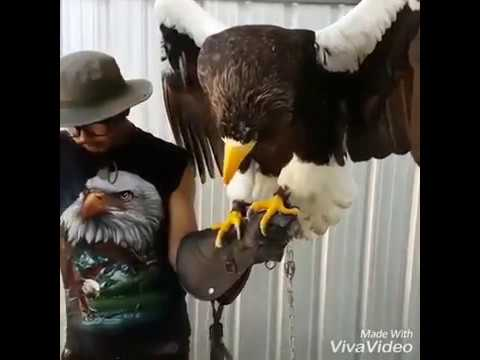 Bluey & Mizu: the heaviest eagle in the world- Steller's Sea Eagle!