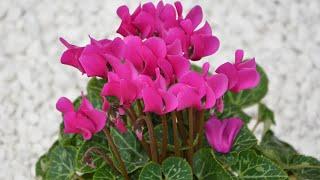 Цикламен - от семени до цветущего растения(, 2014-12-16T21:15:10.000Z)