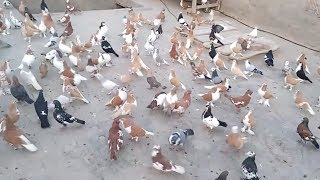 All type of fancy pigeon and high flying pigeons