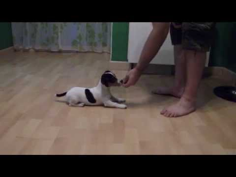 Coco, Cachorro Jack Russell 4 meses.