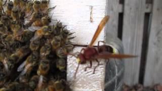 אחוות דבורים - במלחמה מול צרעה החוטפת דבורה אמיצה