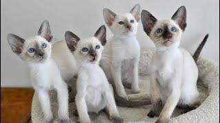 Funny Siamese Cat Videos  Loud Siamese Cat Meowing Talking Cute Siamese Kitten Sounds Ragdoll Twins