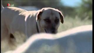 Herdenschutzhund verteidigt Herde gegen Gepard Kangal