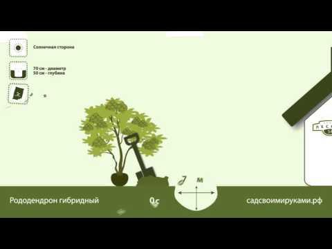 Рододендрон – описание лекарственных видов растения