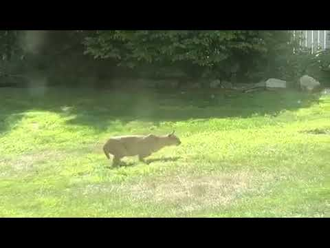 A bobcat was caught on camera in Putnam County shortly before he took out a rabbit.