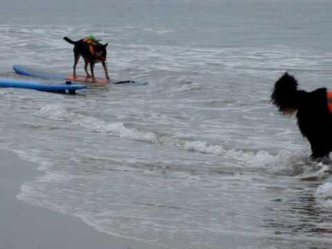3 Dogs Ride A Wave Huntington Beach Surf Dog Surfer Contest 539
