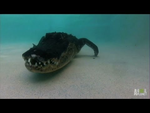 Angry, Fearless Gator Marks its Territory in Pool   Gator Boys