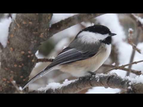 Black-capped chickadee, call