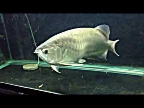 ปลามังกรเขียว