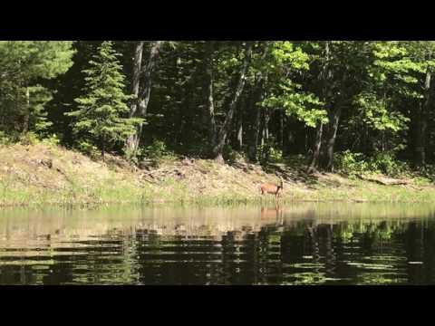 Deer sighting on Birch Stream, Penobscot County, Maine - 06-07-2017