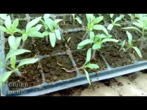 Вопрос: Какие методы борьбы с чёрной ножкой у рассады с помидорами?
