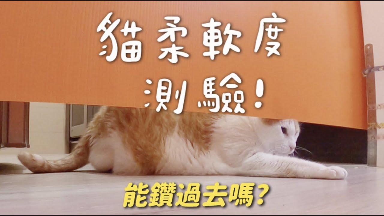 【黃阿瑪的後宮生活】貓柔軟度測驗!能鑽過去嗎?