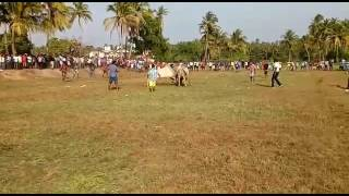 goan ox fight tyson vz aloi ox