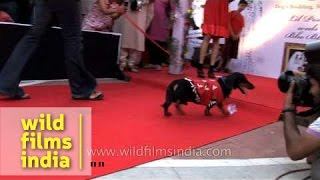 Dachshund Walks To Impress Others During A Mass Canine Wedding Show In Delhi