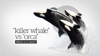 Why are orcas called killer whales?