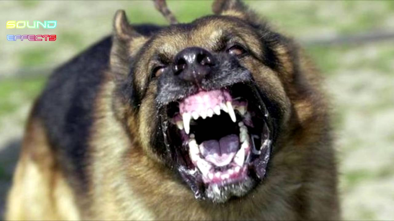 Dog barking sound effects! Free to use sounds.