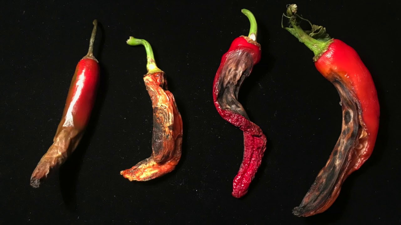 Anthracnose of chilli in Thailand |opallpyp - YouTube