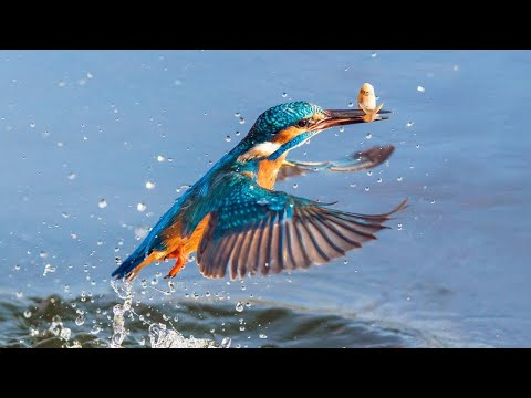 ЗИМОРОДОК — настоящий рыболов! Самая КРАСИВАЯ птица! Интересные факты о зимородках.