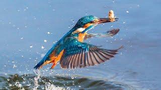 ЗИМОРОДОК — настоящий рыболов! Самая КРАСИВАЯ птица! Интересные факты о зимородках. Дикая природа.
