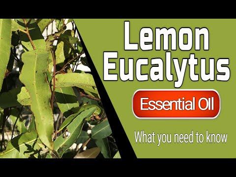lemon-eucalyptus---benefits-of-lemon-eucalyptus-essential-oil---eucalyptus-citriodora