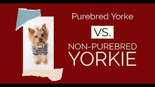 The Difference Between A Purebred And A Non purebred Yorkshire Terrier