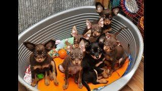 Продаются щенки Той терьера, 2,5 мес
