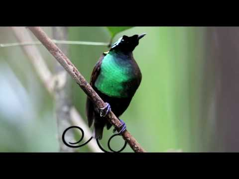 Wilson's bird-of-paradise (Cicinnurus respublica) displaying