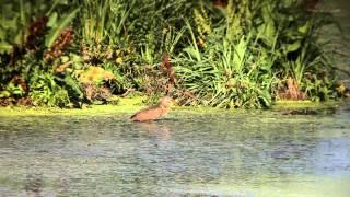 Заплава р. Нивка, Біличанський ліс(Розмаїття пернатого світу біля заплави р. Нивка Variety of birds near the Nivka River, Bilychi Forest, Kiev., 2013-05-04T15:27:59.000Z)