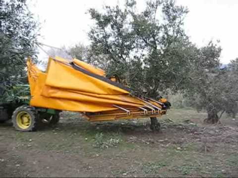 Harvest of organic olives with mechanical vibration in Douro