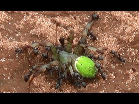Spider funeral, Slurred by carnivorous ants, Green Spider Araniella cucurbitina,