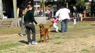 Amazing Golden Retriever Obedience - Clover