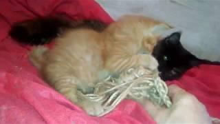 Настоящий котик Мейн кун красный мраморный окрас. Real cat Maine Coon red marble color.