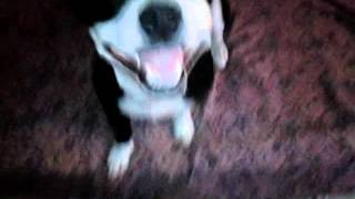 Half pitbull half Chiwawa