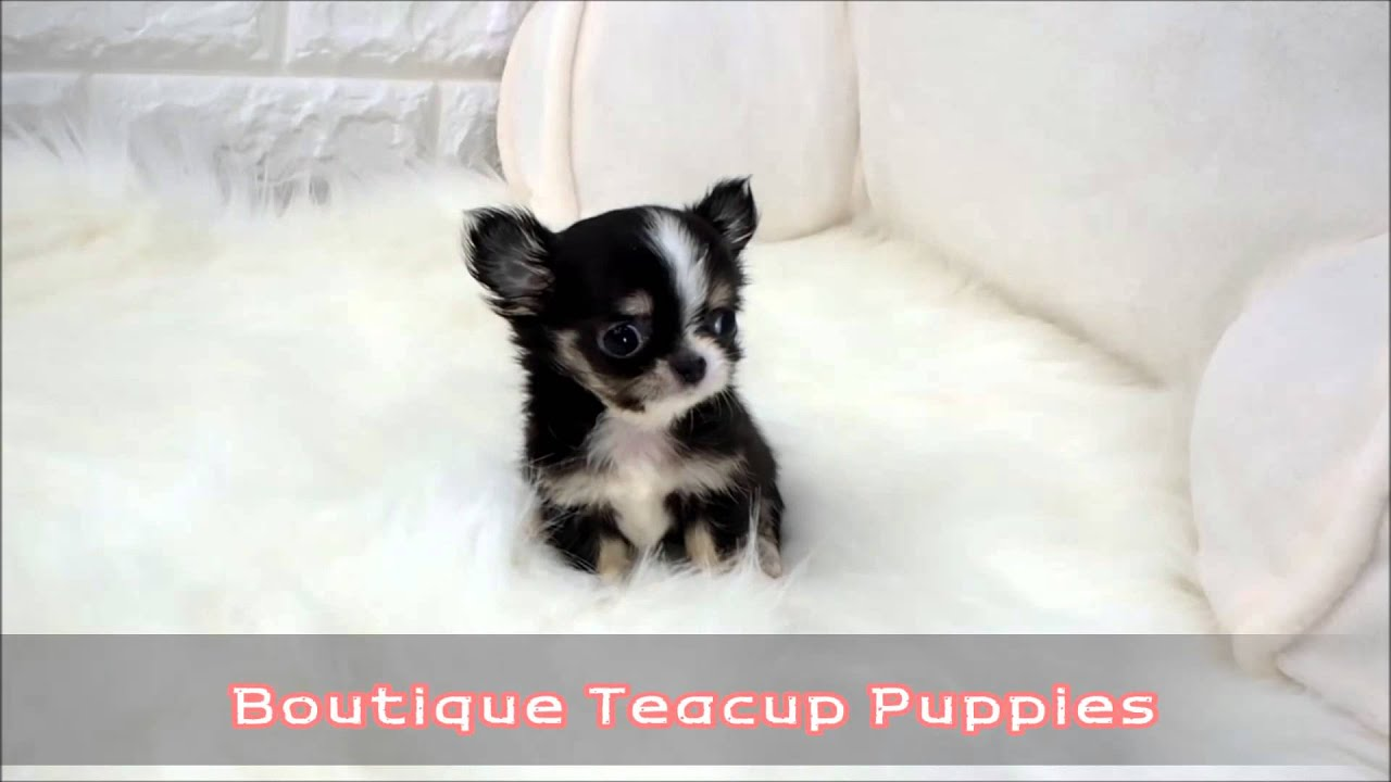 Micro Tri Colored Baby Chihuahua Holly Available Youtube