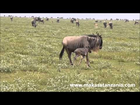Newborn Wildebeest - Safari with Makasa Tanzania
